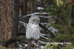 01128-00201 Great Gray Owl (Strix nebulosa) Yellowstone National Park, WY