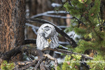 01128-00217 Great Gray Owl (Strix nebulosa)  Yellowstone National Park, WY