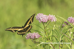 03017-01413 Giant Swallowtail (Papilio cresphontes) on Swamp Milkweed (Asclepias incarnata) Marion Co. IL