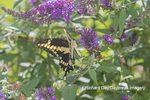 03017-01415 Giant Swallowtail (Papilio cresphontes) on Butterfly Bush (Buddleja davidii) Marion Co. IL