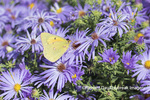 03074-00611 Orange Sulphur (Colias eurytheme) on Frikart's Aster (Aster frikartii) Marion Co. IL