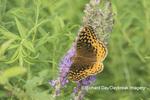 03322-01801 Great Spangled Fritillary (Speyeria cybele) on Prairie Blazing Star (Liatris pycnostachya) Stephen A. Forbes State Park Marion Co. IL