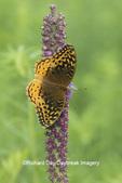 03322-01809 Great Spangled Fritillary (Speyeria cybele) on Prairie Blazing Star (Liatris pycnostachya) Stephen A. Forbes State Park Marion Co. IL