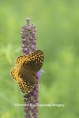 03322-01811 Great Spangled Fritillary (Speyeria cybele) on Prairie Blazing Star (Liatris pycnostachya) Stephen A. Forbes State Park Marion Co. IL