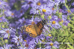 03405-00512 American Lady (Vanessa virginiensis) on Frikart's Aster (Aster frikartii) Marion Co. IL