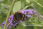 03408-00711 Red Admiral (Vanessa atalanta) on Butterfly Bush (Buddleja davidii) Marion Co. IL