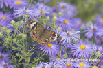 03411-01216 Common Buckeye (Junonia coenia) on Frikart's Aster (Aster frikartii) Marion Co. IL