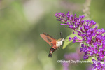 04014-00110 Hummingbird Clearwing (Hemaris thysbe) on Butterfly Bush (Buddleja davidii) Marion Co. IL