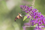 04014-00111 Hummingbird Clearwing (Hemaris thysbe) on Butterfly Bush (Buddleja davidii) Marion Co. IL