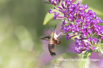 04014-00112 Hummingbird Clearwing (Hemaris thysbe) on Butterfly Bush (Buddleja davidii) Marion Co. IL
