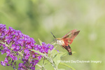 04014-00113 Hummingbird Clearwing (Hemaris thysbe) on Butterfly Bush (Buddleja davidii) Marion Co. IL