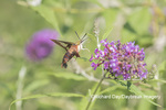 04014-00115 Hummingbird Clearwing (Hemaris thysbe) on Butterfly Bush (Buddleja davidii) Marion Co. IL