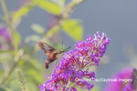 04014-00118 Hummingbird Clearwing (Hemaris thysbe) on Butterfly Bush (Buddleja davidii) Marion Co. IL