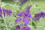 04014-00207 Hummingbird Clearwing (Hemaris thysbe) and  Snowberry Clearwing (Hemaris diffinis) on Butterfly Bush (Buddleja davidii) Marion Co. IL