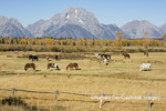 67545-09517 Horses and Grand Teton Mountain Range in fall, Grand Teton National Park, WY