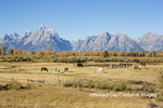 67545-09602 Horses and Grand Teton Mountain Range in fall, Grand Teton National Park, WY