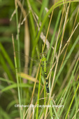 06593-01015 Eastern Pondhawk (Erythemis simplicicoliis) female Marion Co. IL