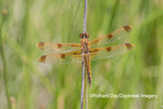 06628-00208 Painted Skimmer (Libellula semifasciata) in wetland Marion Co. IL