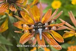 06625-008.09 Twelve-spotted Skimmer (Libellula pulchella) male on orange Zinnia, Marion Co. IL