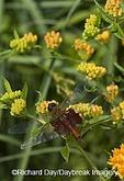06673-003.13 Carolina Saddlebags (Tramea carolina) on Butterfly Milkweed (Asclepias tuberosa)  Marion Co. IL