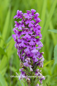 63899-05503 Purple Fringeless Orchid (Platanthera peramoena) Marion Co. IL