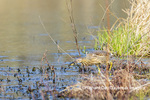 00685-00601 American Bittern (Botaurus lentiginosus) eating tadpole in wetland Marion Co. IL