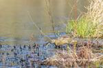 00685-00602 American Bittern (Botaurus lentiginosus) eating tadpole in wetland Marion Co. IL