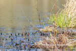 00685-00606 American Bittern (Botaurus lentiginosus) eating tadpole in wetland Marion Co. IL