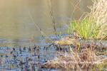 00685-00607 American Bittern (Botaurus lentiginosus) eating tadpole in wetland Marion Co. IL