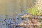 00685-00610 American Bittern (Botaurus lentiginosus) eating tadpole in wetland Marion Co. IL