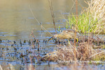 00685-00611 American Bittern (Botaurus lentiginosus) eating tadpole in wetland Marion Co. IL