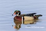 00715-09502 Wood Duck (Aix sponsa) male in wetland Marion Co. IL