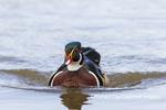 00715-09508 Wood Duck (Aix sponsa) male in wetland Marion Co. IL