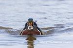 00715-09510 Wood Duck (Aix sponsa) male in wetland Marion Co. IL