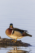 00715-09518 Wood Duck (Aix sponsa) male on log in wetland Marion Co. IL