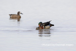 00715-09611 Wood Ducks (Aix sponsa) male and female copulating in wetland Marion Co. IL