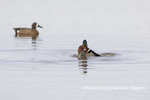 00715-09615 Wood Ducks (Aix sponsa) male and female copulating in wetland Marion Co. IL