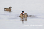 00715-09616 Wood Ducks (Aix sponsa) male and female copulating in wetland Marion Co. IL