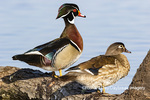 00715-09619 Wood Ducks (Aix sponsa) male and female on log in wetland Marion Co. IL