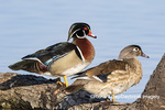 00715-09620 Wood Ducks (Aix sponsa) male and female on log in wetland Marion Co. IL