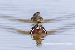 00715-09703 Wood Ducks (Aix sponsa) male & female swimming in wetland Marion Co. IL
