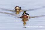 00715-09704 Wood Ducks (Aix sponsa) male & female swimming in wetland Marion Co. IL