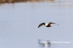 00719-01715 Northern Shoveler (Spatula clypeata) male landing in wetland Marion Co. IL