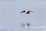 00719-01716 Northern Shoveler (Spatula clypeata) male landing in wetland Marion Co. IL