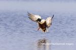 00719-01719 Northern Shoveler (Spatula clypeata) male landing in wetland Marion Co. IL