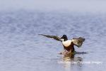 00719-01720 Northern Shoveler (Spatula clypeata) male landing in wetland Marion Co. IL