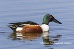 00719-01803 Northern Shoveler (Spatula clypeata) male in wetland Marion Co. IL