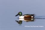 00719-01805 Northern Shoveler (Spatula clypeata) male in wetland Marion Co. IL
