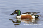 00719-01809 Northern Shoveler (Spatula clypeata) male in wetland Marion Co. IL