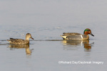 00720-00719 Green-winged Teal (Anas crecca) male & female in wetland Marion Co. IL